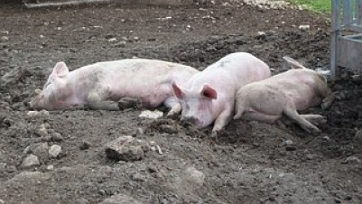 PIGS on side wallowing