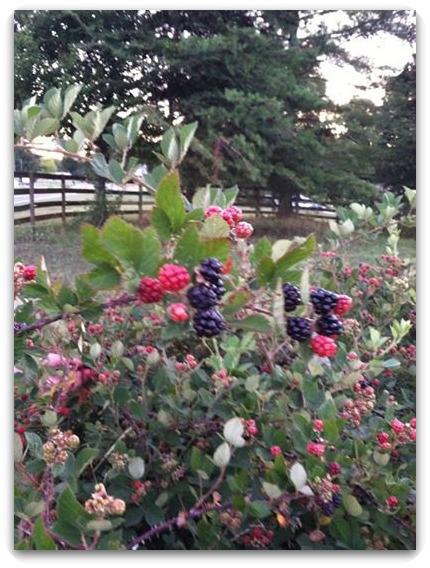 Blackberries for blog