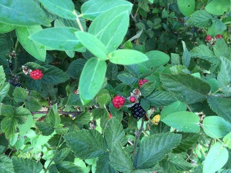 blackberries leaves and berries GOOD