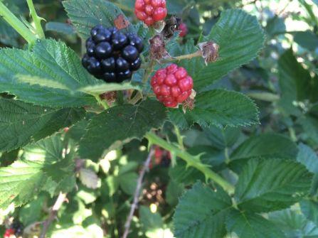 blackberry large black one