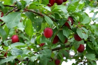 fidelity plum tree