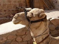 joseph camel