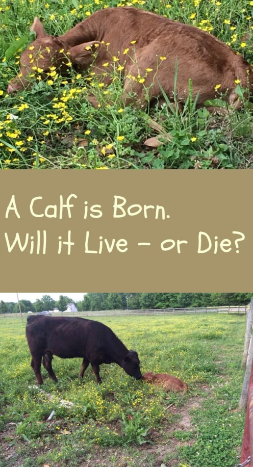 Pinterest Calf is Born