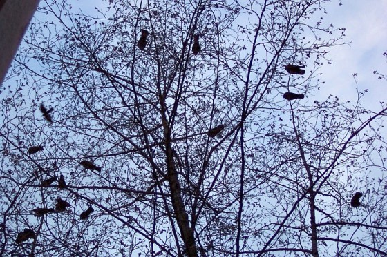 Crows in trees in Burnaby