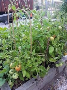 Tomatoes in my community garden