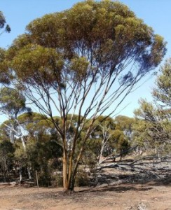 A Mallee tree