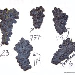 A selection of Pinot Noir clones (Image courtesy www.princeofpinot.com)