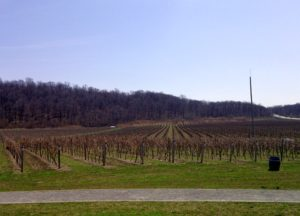 Some vines at the Niagara College Teaching winery