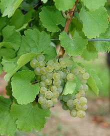 Oraniensteiner grape (Photo courtesy Dr. Joachim Schmid, FG RZ, FA Geisenheim)