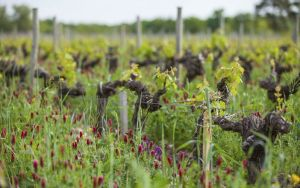 Spring at the vineyards of Chateau Angludet (Photo courtesy www.sichel.fr)