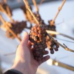 BC grapes for icewine(Photo Credit: Wines of British Columbia, WineBC.com)