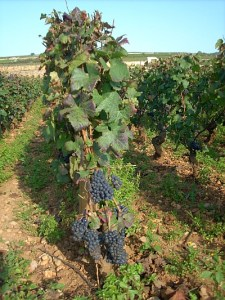 Grapes maturing in Burgundy