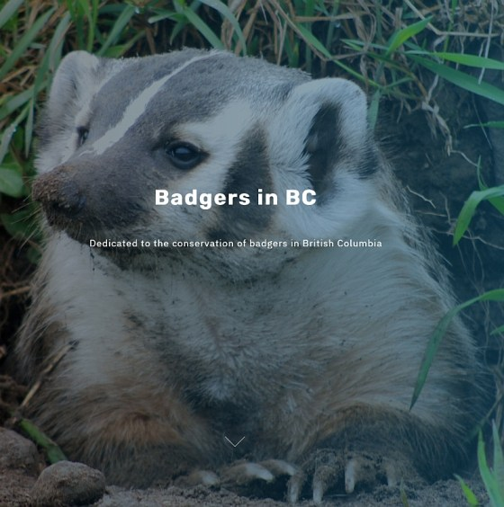 Badgers in BC (image courtesy www.badgers.bc.ca)