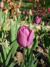 Tulipe-Mania (114)