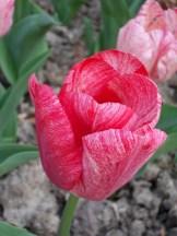 Tulipe-Mania (124)