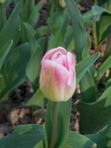 Tulipe-Mania (133)