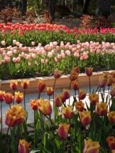 Tulipe-Mania (134)