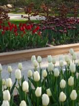 Tulipe-Mania (136)