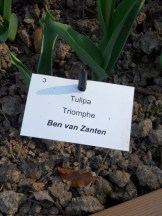 Tulipe-Mania (137)
