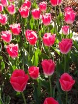 Tulipe-Mania (144)