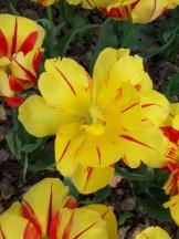 Tulipe-Mania (178)