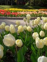 Tulipe-Mania (190)
