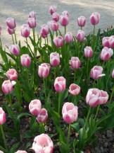 Tulipe-Mania (195)