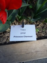 Tulipe-Mania (2)