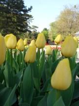 Tulipe-Mania (212)
