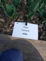 Tulipe-Mania (216)