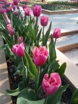 Tulipe-Mania (28)