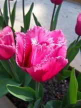 Tulipe-Mania (29)