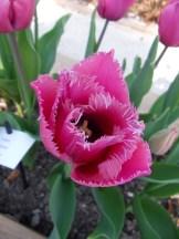 Tulipe-Mania (31)