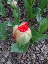 Tulipe-Mania (65)