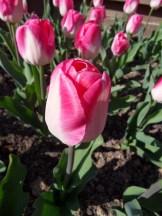Tulipe-Mania (84)