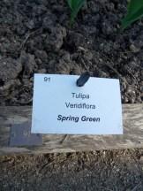 Tulipe-Mania (97)