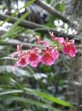 1001 Orchidées .. (24)