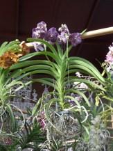 1001 Orchidées .. (58)