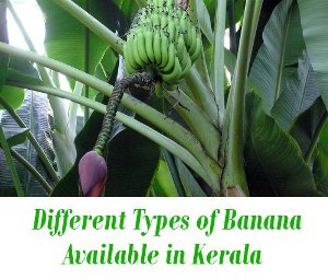 banana varieties kerala