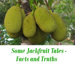 kerala jack fruit