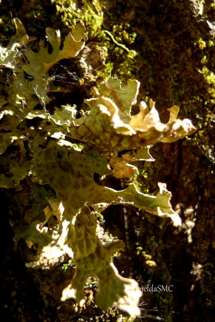 I found this lichen during one late spring walk in the woods near my in-laws' place in Maine.