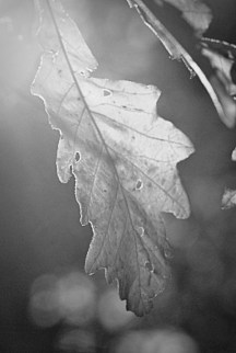 Oak Leaf BW