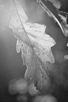Oak Leaf BW