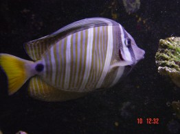 Sailfin Tang at Luka Eco Park