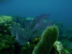 Diving in Nassau – gorgonian coral