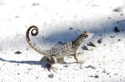 Curly tail lizard local resident