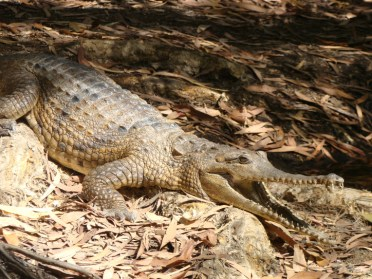 Just a small Freshwater Croc