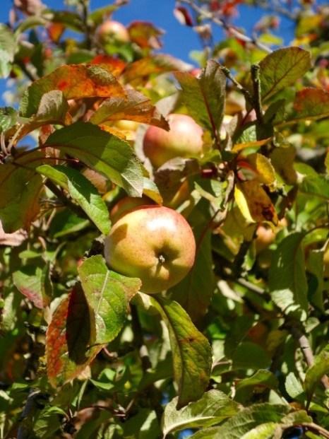 Zweig, Apfelbaum, Apfel