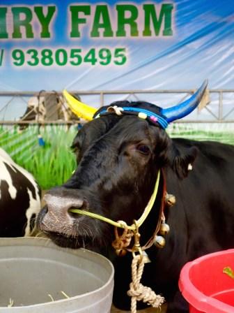 geschmückte Kuh beim Pongal