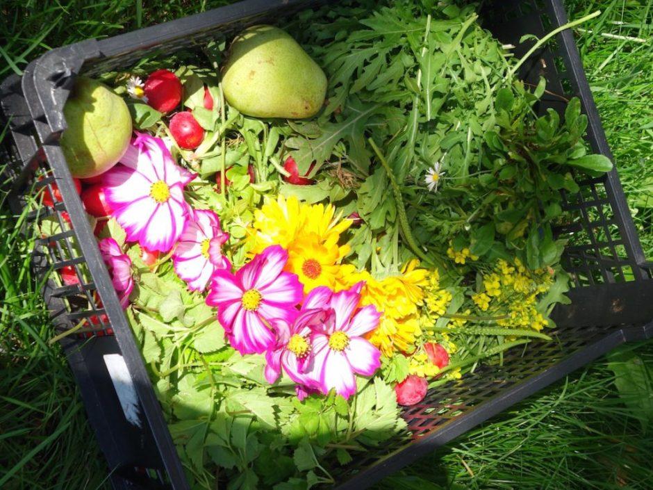 Gänseblümchen, Cosmea, Ringelblume und Giersch, essbarer Wildwuchs aus dem Garten